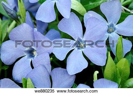 Vinca minor clipart png Stock Image of Spring Periwinkle or Vinca Minor flowers, full ... png