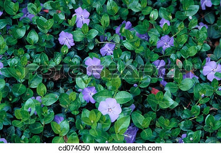 Vinca minor clipart png freeuse stock Stock Photography of Periwinkle (Vinca minor) cd074050 - Search ... png freeuse stock