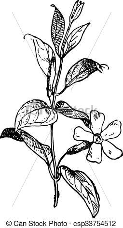 Vinca minor clipart library Vector Clip Art of Periwinkle or Vinca minor, vintage engraving ... library