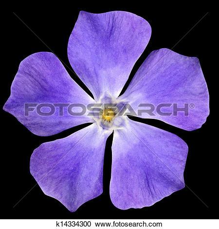 Vinca minor clipart clip black and white stock Pictures of Periwinkle purple flower - Vinca minor - isolated on ... clip black and white stock