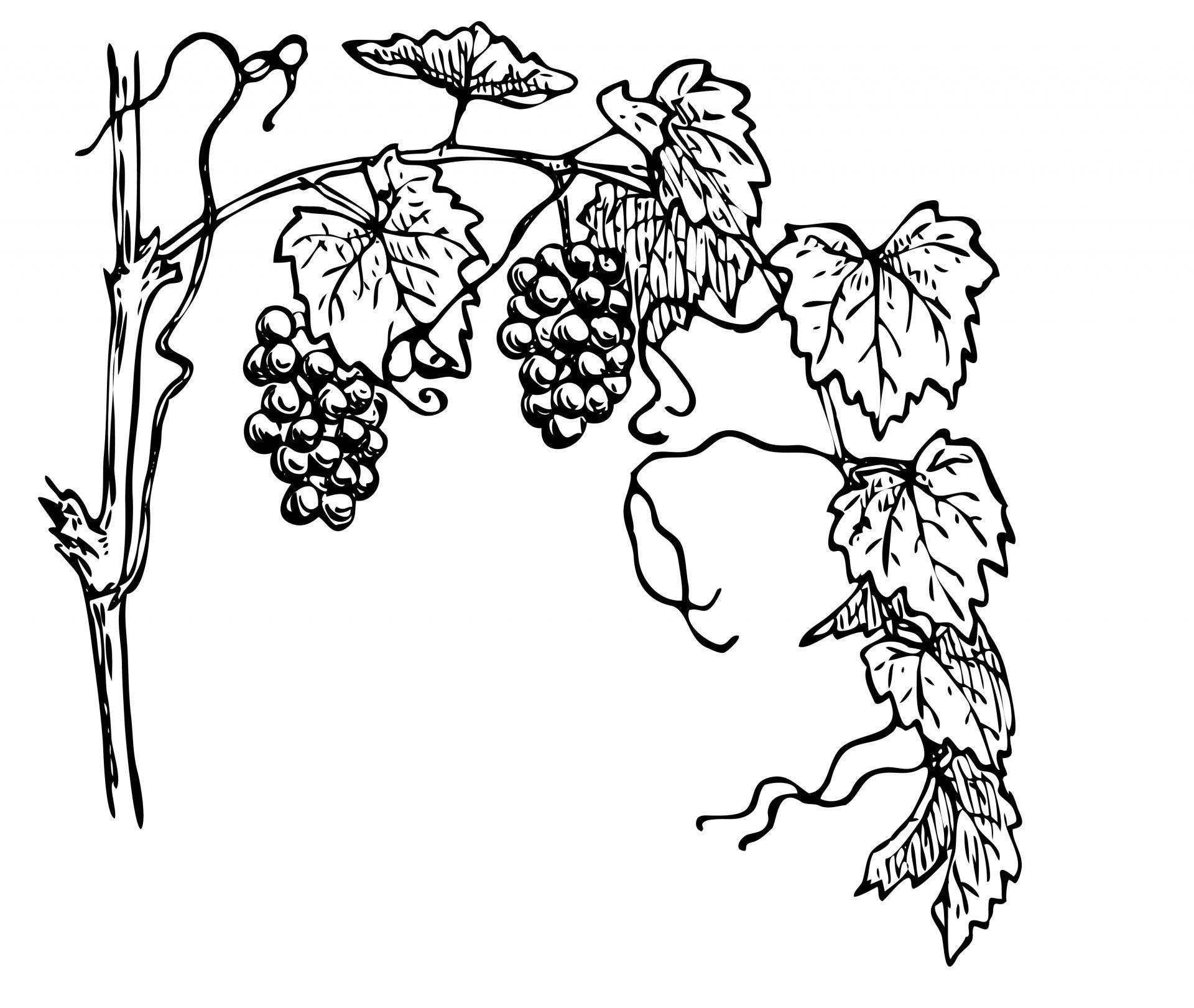 Vine sketch clipart clip art free download Grapevine Clipart Illustration Free Stock Photo - Public ... clip art free download