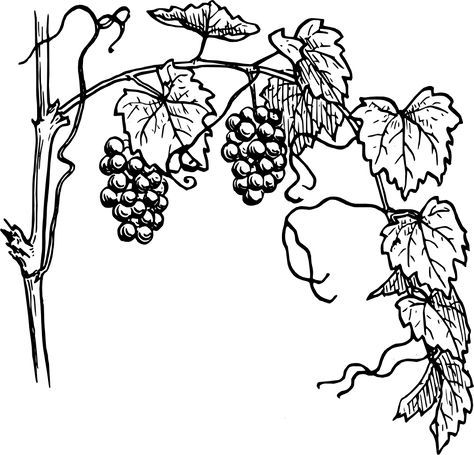 Vine sketch clipart vector free black and white vine clip art | Grapevine clip art - vector ... vector free