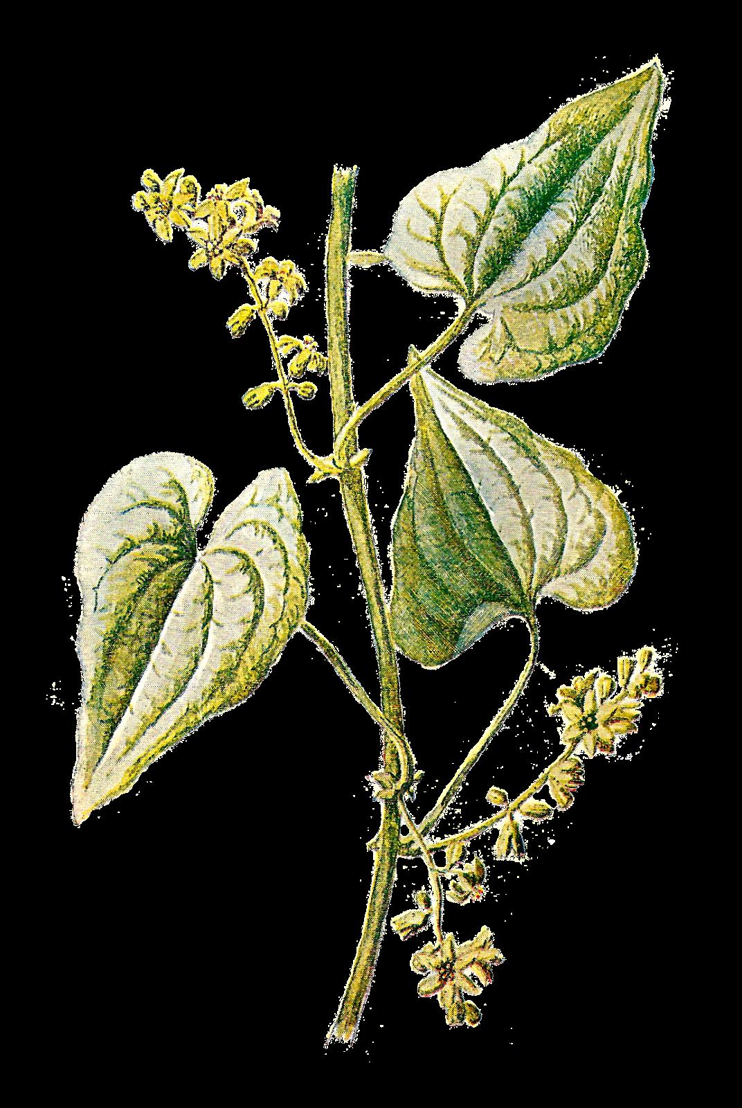 Vintage avocado tree flower clipart clip free download Botany Botanical illustration Herb Clip art - Vintage Herb Cliparts ... clip free download
