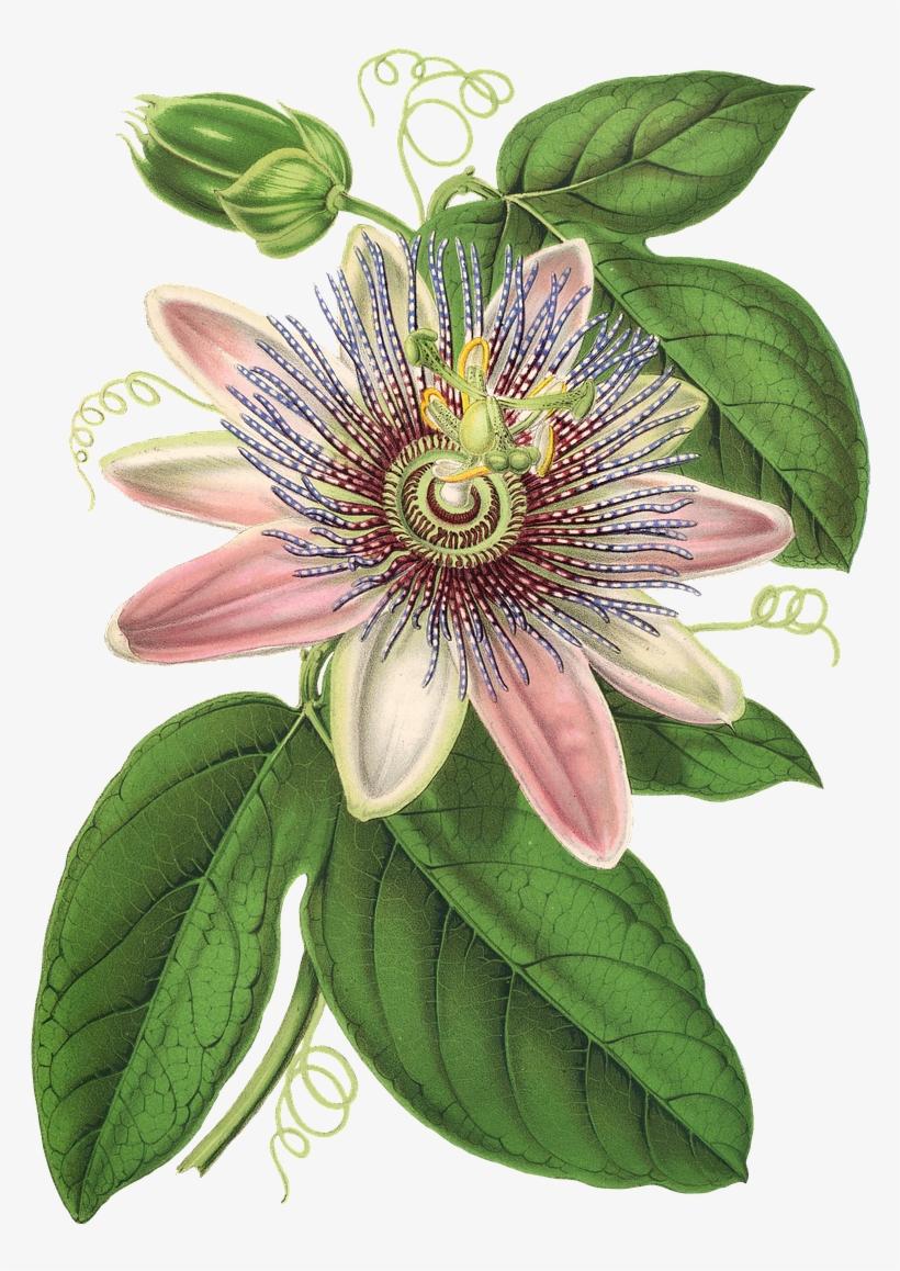 Vintage bloom clipart clip art black and white download Passion Flower, Flower, Plant, Blossom, Bloom, Vintage ... clip art black and white download