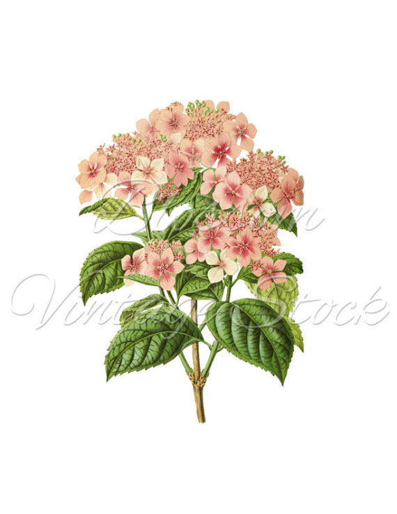 Vintage flower clipart png vector free stock Vintage Flower Clipart, PNG Floral Illustration Pink Flowers Print ... vector free stock