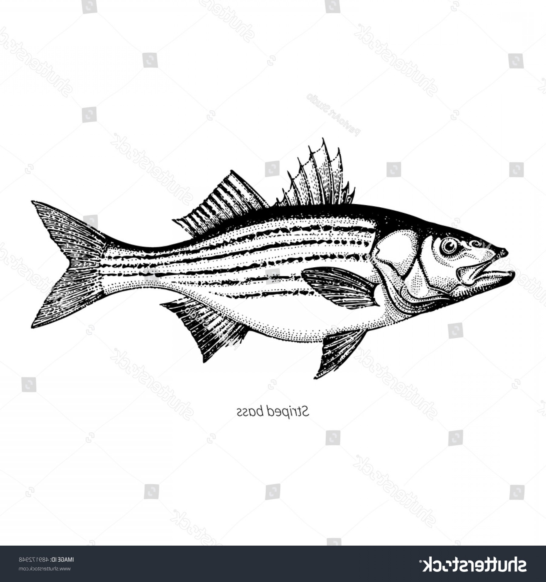 Vintage jumping bass clipart jpg black and white Striped Bass Hand Drawn Outline Vintage | SOIDERGI jpg black and white