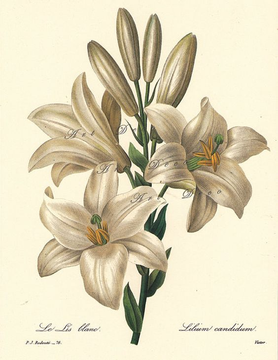 Vintage lily clipart vector library stock flowers art flowers flower art vintage illustrations clipart ... vector library stock