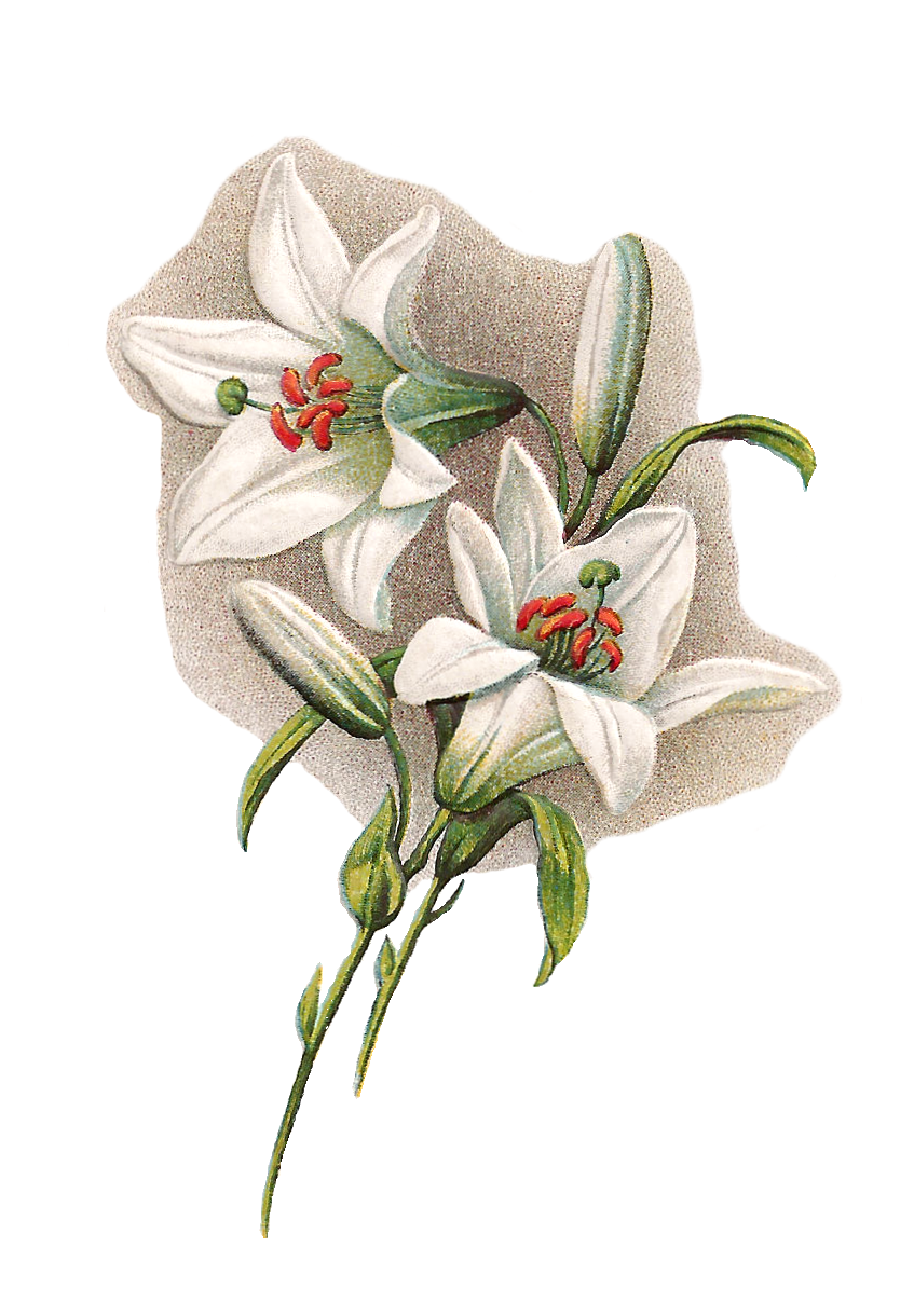 Vintage lily clipart vector royalty free library Lily clipart vintage, Lily vintage Transparent FREE for ... vector royalty free library