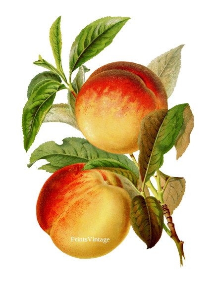 Vintage peaches clipart image library download Peaches Clipart, Peaches Print, Fruit Clipart, Fruit Print ... image library download