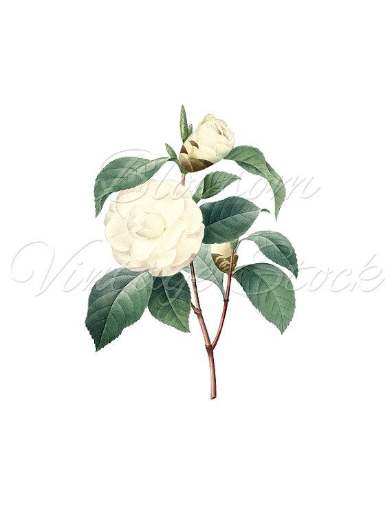 Vintage print clipart vector library library Magnolia Flower Print, Botanical Art, Flower Clipart, PNG ... vector library library