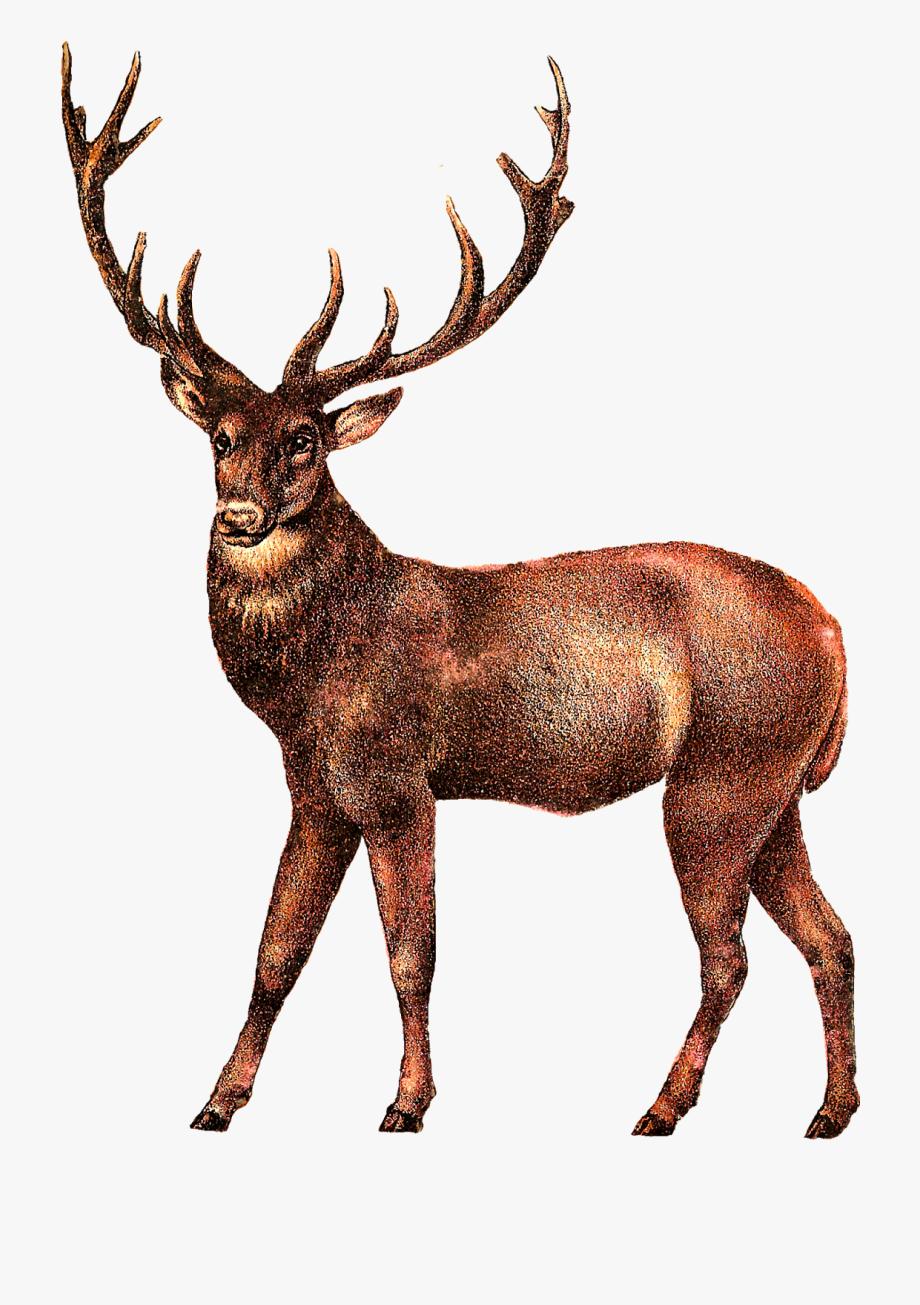 Vintage reindeer head clipart picture black and white library Elk Antler Clipart - Vintage Deer Clip Art #197944 - Free ... picture black and white library