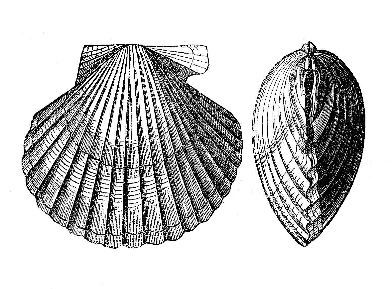 Vintage shell clipart vector download Vintage clip art images seashells the graphics fairy - Clipartix vector download