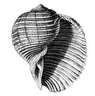 Vintage shell clipart royalty free library Vintage Seashell - printable | Beach | Fish illustration ... royalty free library