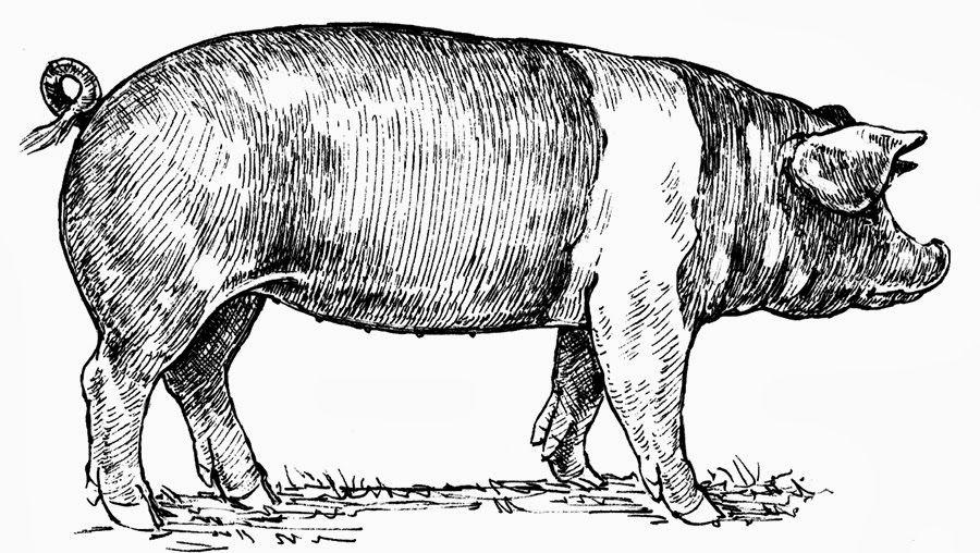 Vintage swine clipart frame vector black and white library vintage pig illustration - Google Search   Tattoo   Pig ... vector black and white library