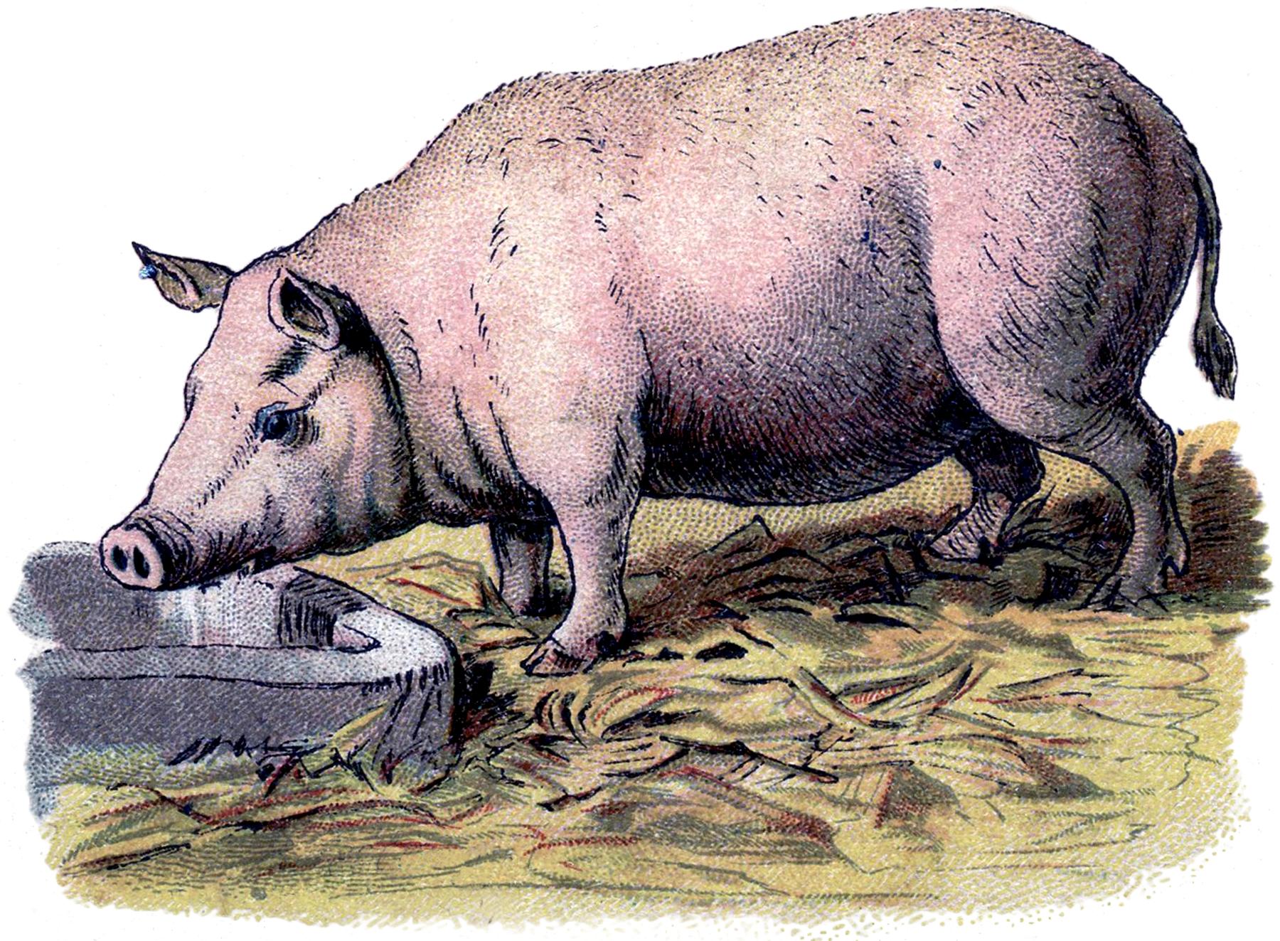 Vintage swine clipart frame svg free download Vintage Pig Image! - The Graphics Fairy svg free download