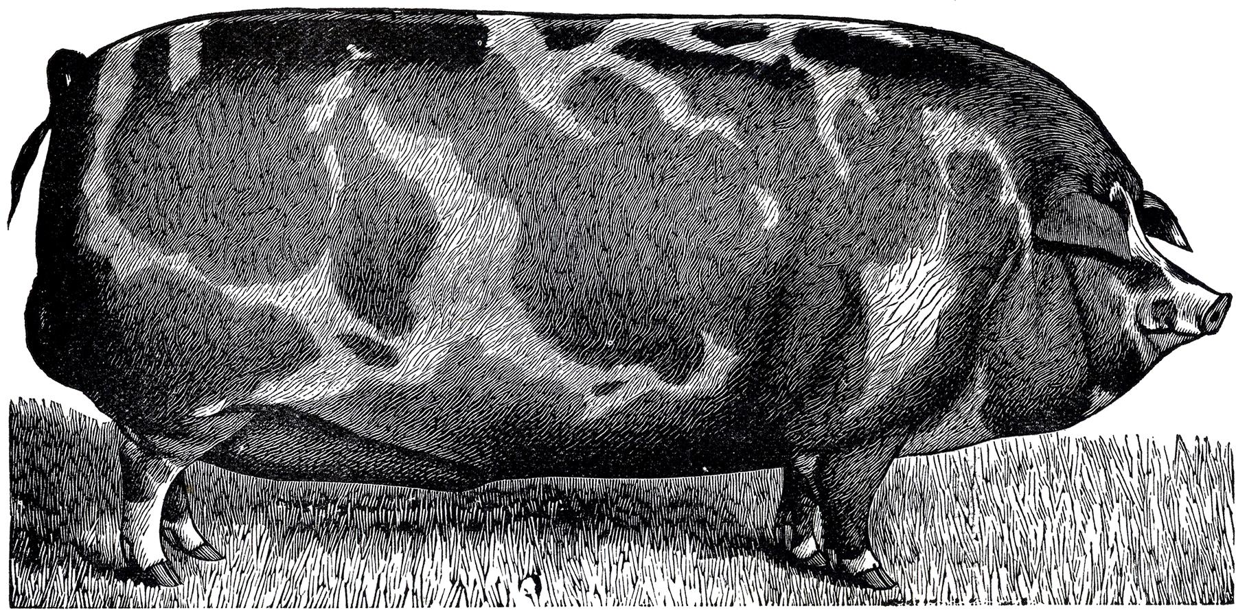 Vintage swine clipart frame clip art freeuse stock Vintage Farmhouse Pig Pictures - 2 Versions - The Graphics Fairy clip art freeuse stock