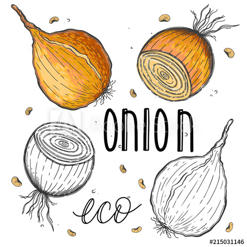 Vintage vegetable clipart color clipart royalty free Vector vegetables onion in a realistic sketch style. Healthy ... clipart royalty free
