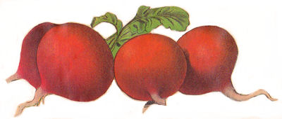 Vintage vegetable clipart color picture Free Beets Cliparts, Download Free Clip Art, Free Clip Art ... picture