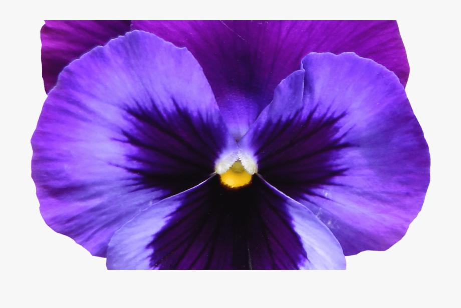 Violet images clipart svg freeuse download 95 Purple Flowers Clipart No Background Lavender Flower ... svg freeuse download