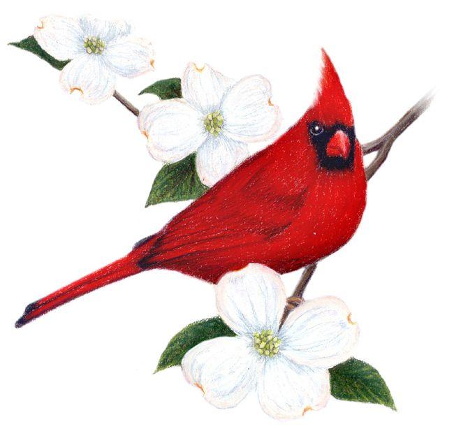 Red cardinal in flight dogwood branch west virginia clipart download virginia bird | Virginia State Bird and Flower: Cardinal ... download