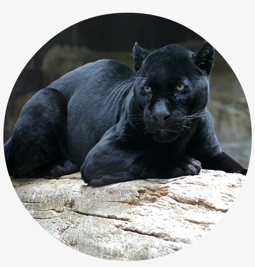 Viscious jaguar clipart image transparent stock Black Panther 1080p Wallpaper - Black Jaguar Transparent PNG ... image transparent stock