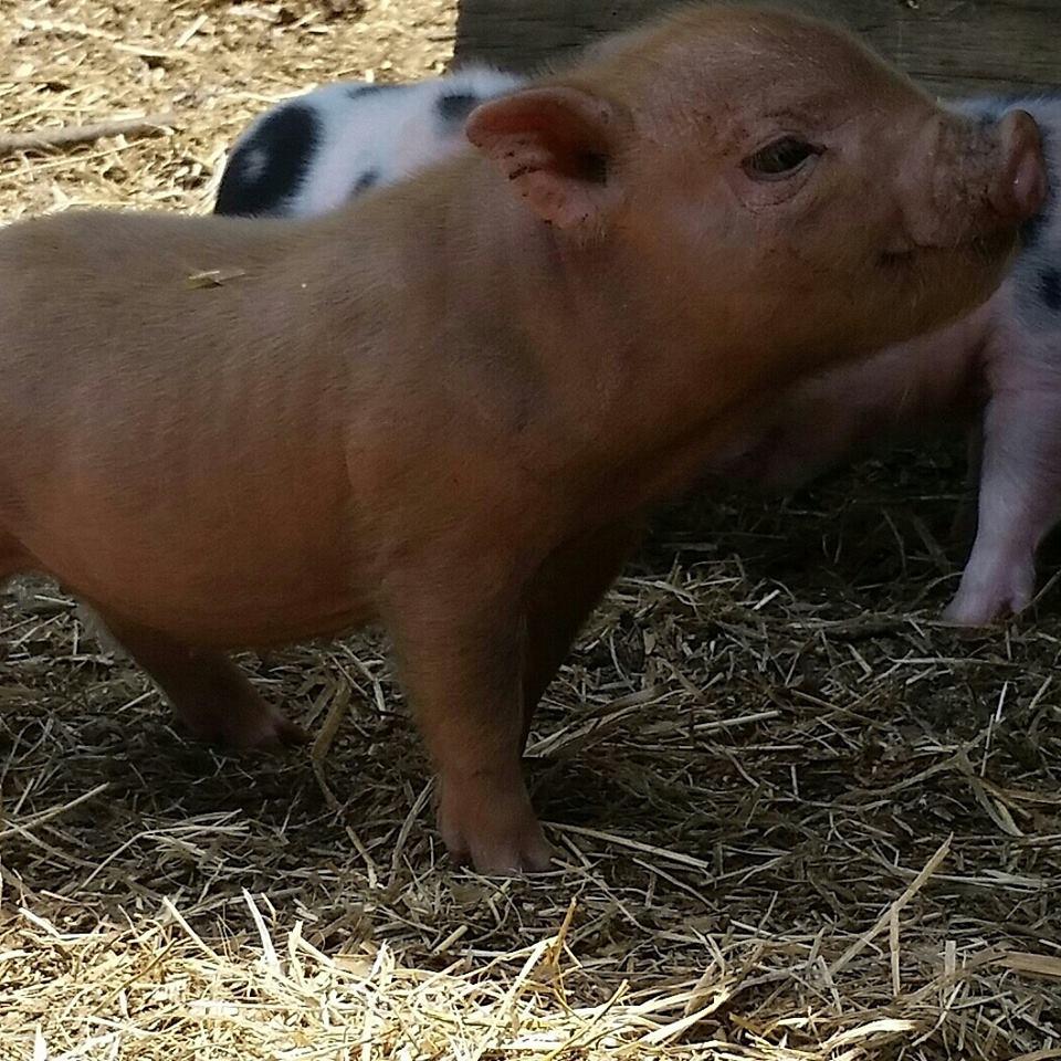 Vomiting pig clipart graphic transparent Mini Pig Conformation - Breeding For Quality - graphic transparent
