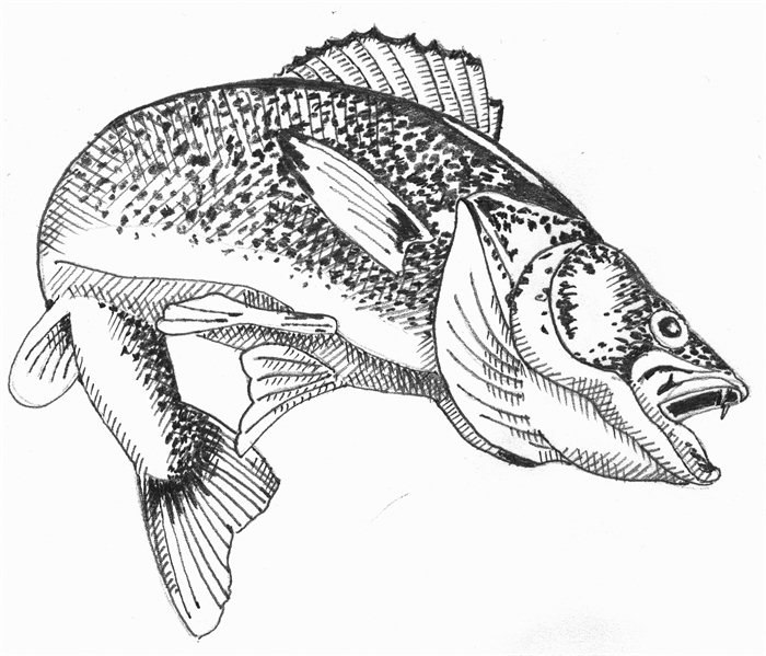 Walleye outline clipart transparent stock Free Walleye Cliparts, Download Free Clip Art, Free Clip Art ... transparent stock