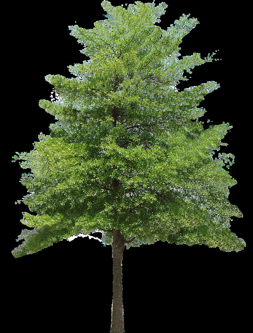 Walnut tree clipart image royalty free stock 19 Realistic clipart walnut tree HUGE FREEBIE! Download for ... image royalty free stock