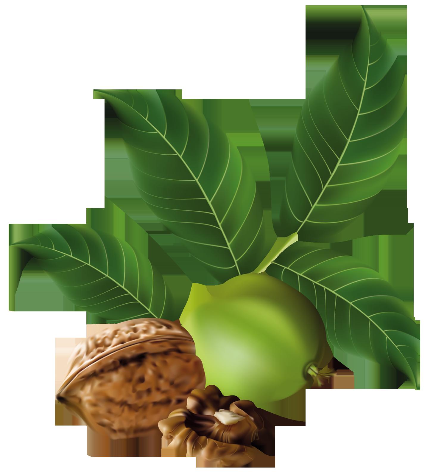 Walnut tree clipart jpg royalty free stock Walnut PNG Clip Art - Best WEB Clipart jpg royalty free stock
