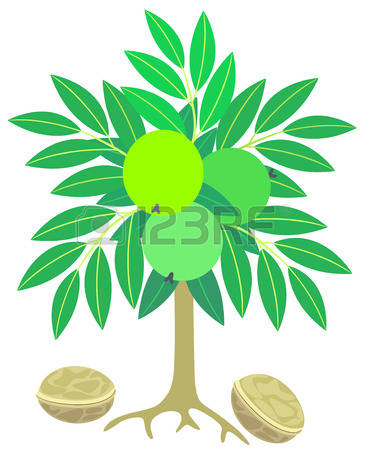 Walnut tree clipart clipart png 2,121 Walnut Tree Stock Vector Illustration And Royalty Free ... png