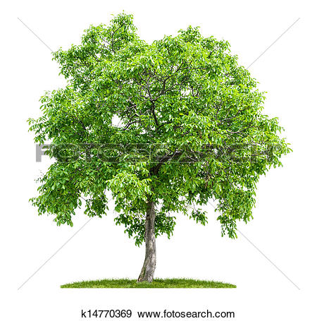 Walnut tree clipart clipart jpg freeuse download Stock Photograph of isolated walnut tree on a white background ... jpg freeuse download
