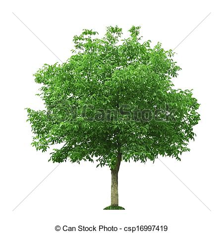 Walnut tree clipart clipart png black and white Walnut tree clipart clipart - ClipartFest png black and white