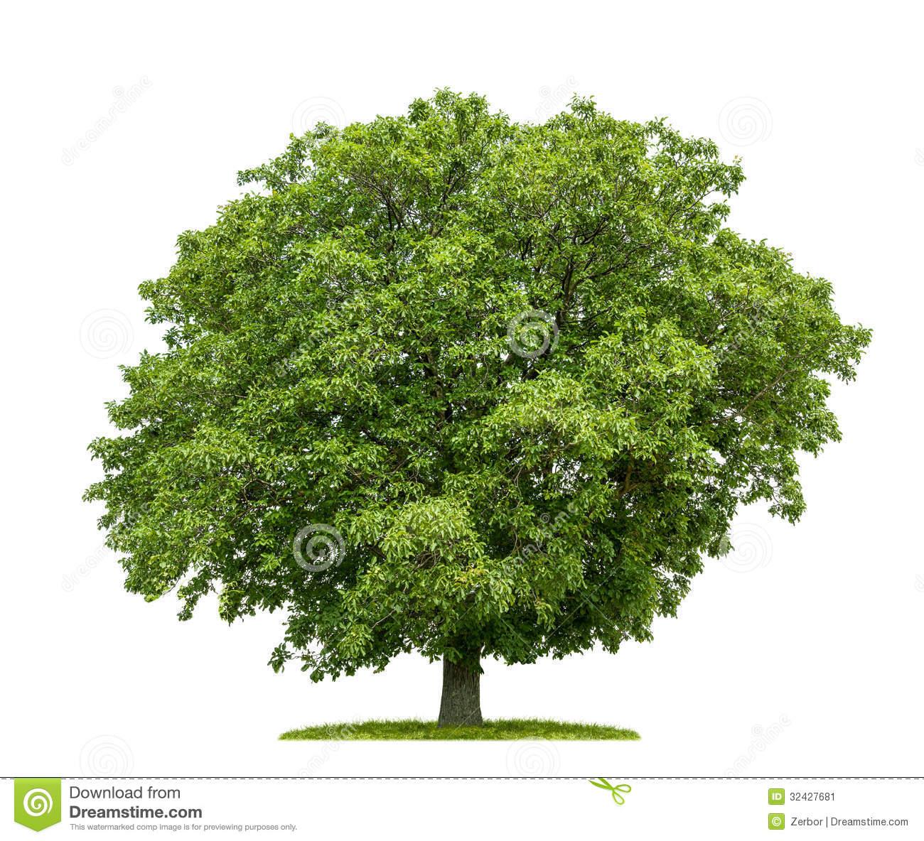 Walnut tree clipart clipart image free Walnut tree clipart - ClipartFox image free