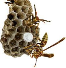 Wasp clipart hexagon