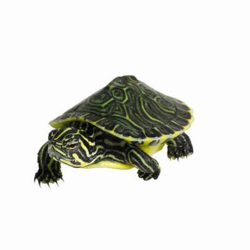 Water holding its breath clipart clipart royalty free How Long Can Turtles Hold Their Breath Under Water ... clipart royalty free