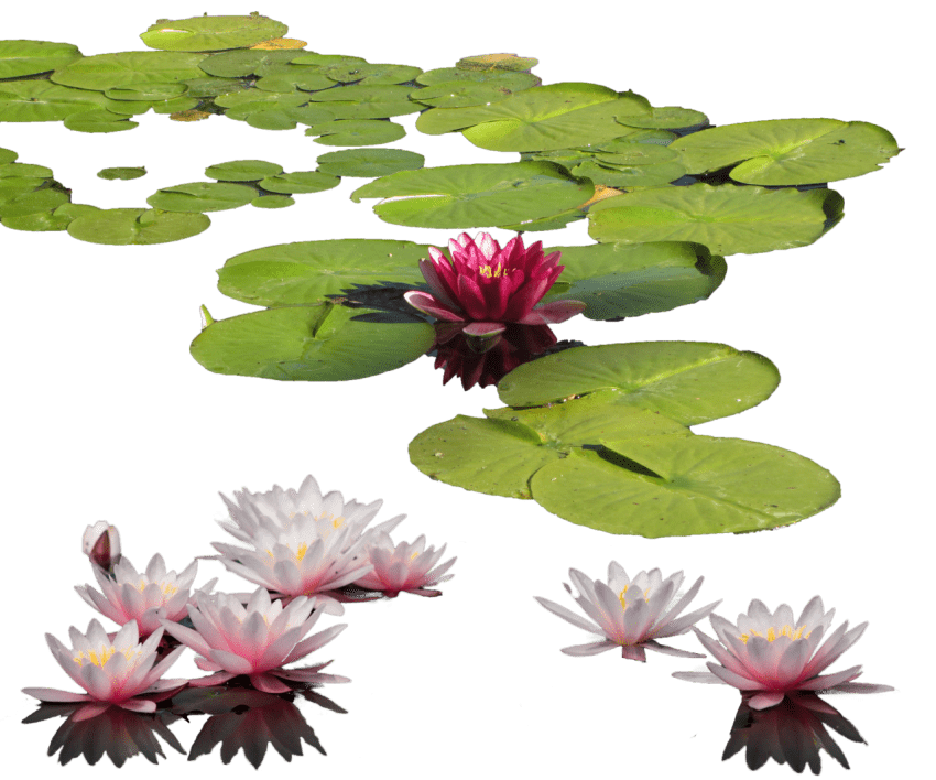 Water lily flower clipart graphic freeuse stock water lily png - Free PNG Images | TOPpng graphic freeuse stock
