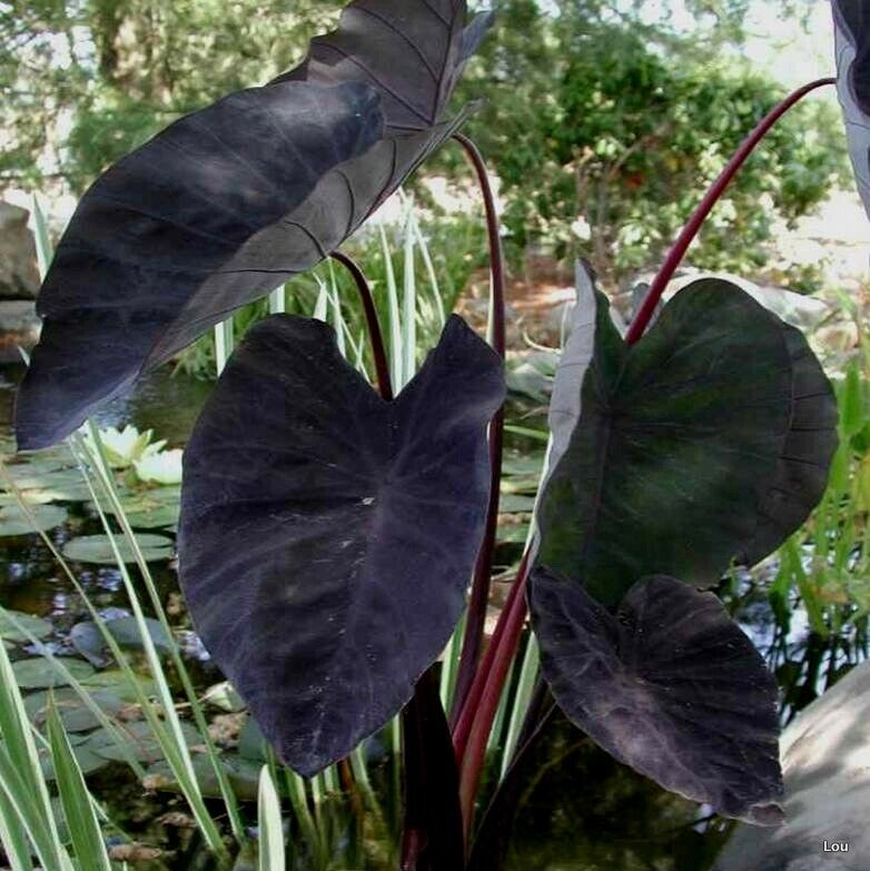 Water on colocasia clipart svg royalty free library Details about Colocasia * BLACK MAGIC * Elephant Ear Indoor to Full Sun~1  Plant svg royalty free library