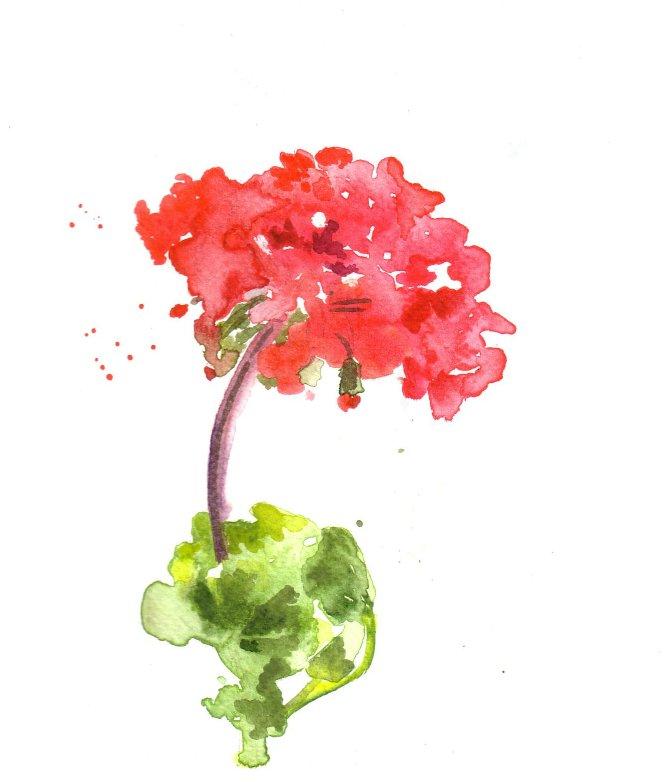 Watercolor geranium clipart picture free Watercolor Geraniums at PaintingValley.com   Explore ... picture free