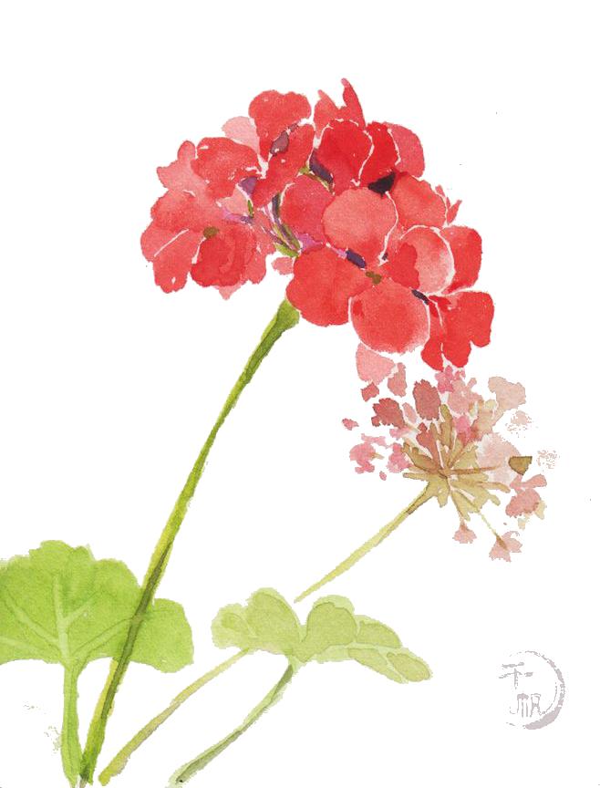 Watercolor geranium clipart image freeuse download Geranium watercolor clipart images gallery for free download ... image freeuse download