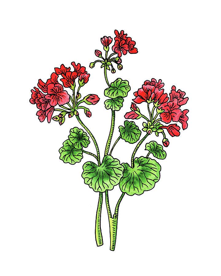 Watercolor geranium clipart vector freeuse Geranium Flower Watercolor vector freeuse