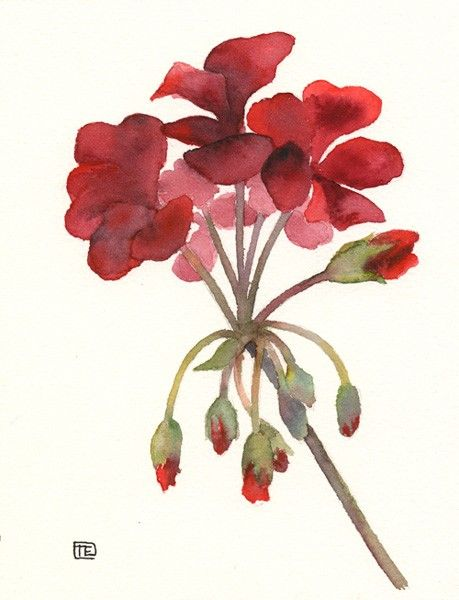 Watercolor geranium clipart black and white Red Geranium - Original Watercolour Painting   Art ... black and white