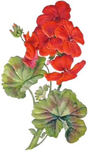 Watercolor geranium clipart svg library stock Geranium watercolor clipart images gallery for free download ... svg library stock