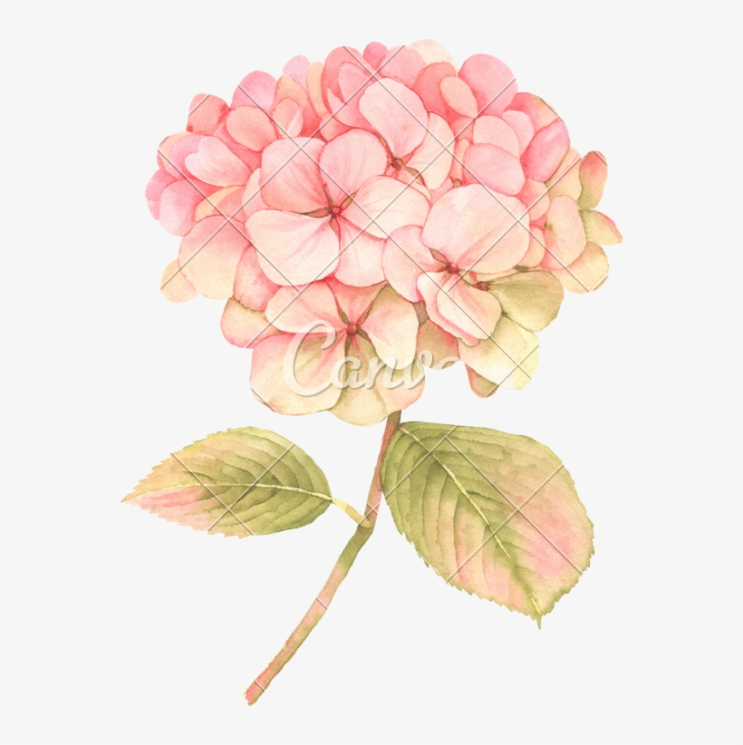 Watercolor hydrangea clipart picture freeuse Hydrangea Transparent Watercolor - Pink Hydrangea Clip Art ... picture freeuse