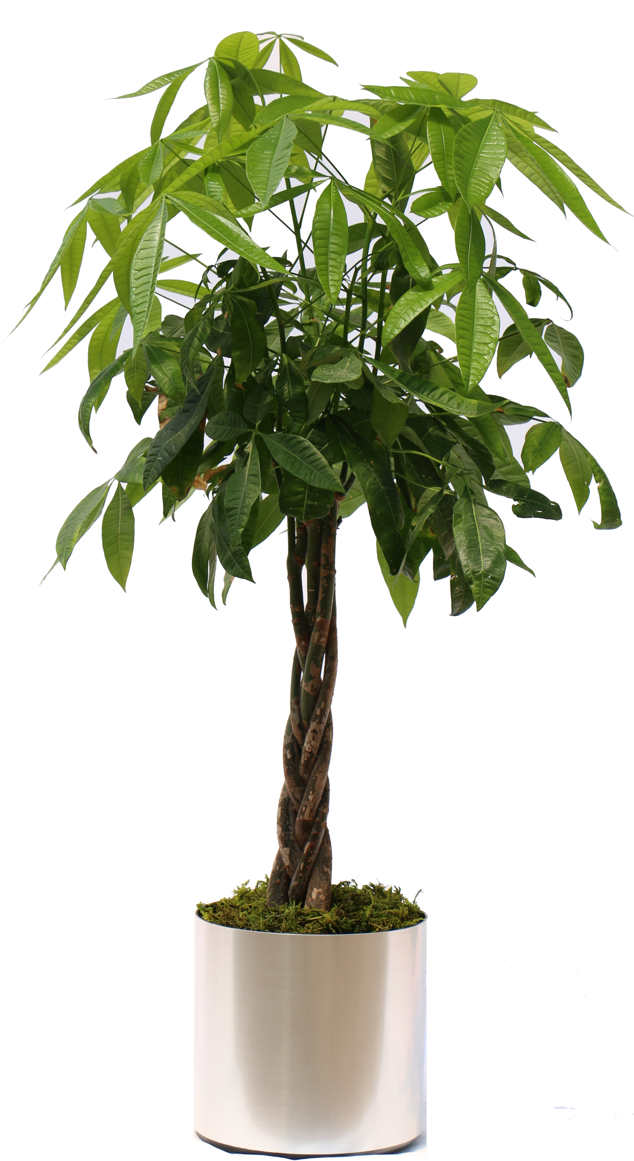 Watering money tree clipart clipart library stock 31++ Great Indoor Potted Plant clipart library stock