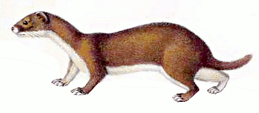Wisile clipart svg royalty free stock weasel clipart - /animals/W/weasel/weasel_clipart.png.html svg royalty free stock