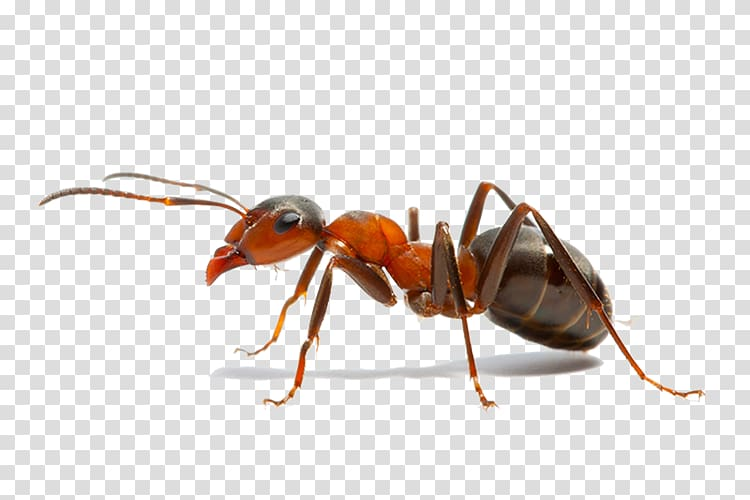 Weaver ant clipart banner royalty free Insect The Ants Weaver ant Pest Control, insect transparent ... banner royalty free