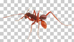 Weaver ant clipart clip art freeuse library Weaver Ant PNG Images, Weaver Ant Clipart Free Download clip art freeuse library