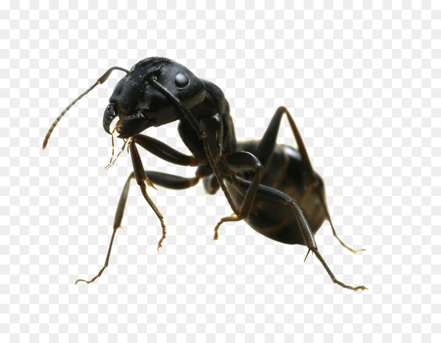 Weaver ant clipart png download Insect The Ants Weaver ant Fire ant Ants and Termites ... png download