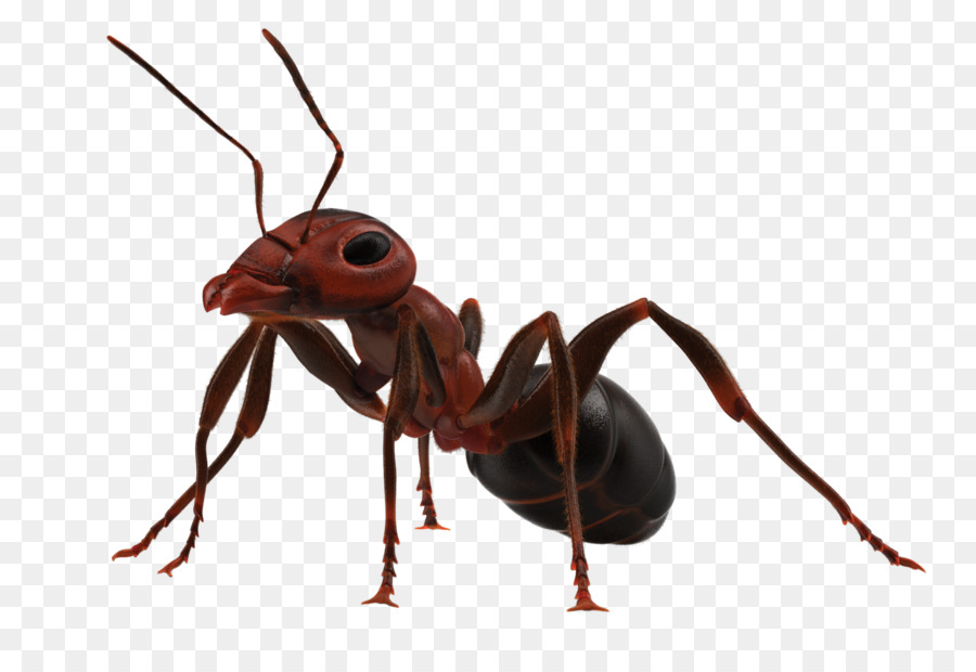 Weaver ant clipart image black and white stock Insect The Ants Weaver ant Fire ant Ants and Termites ... image black and white stock