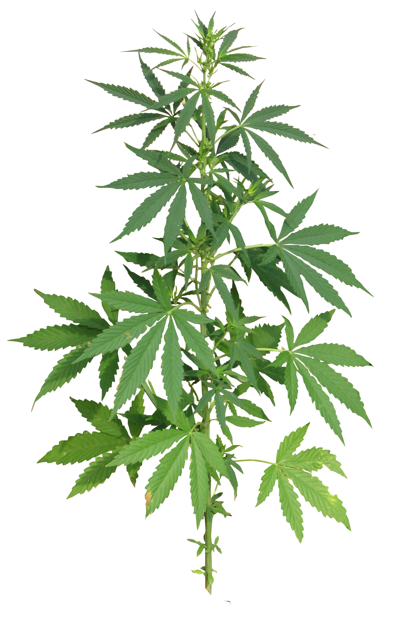 Weed flower clipart image royalty free download Cannabis PNG Image - PurePNG | Free transparent CC0 PNG Image Library image royalty free download